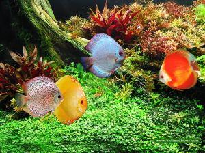 Discus dalam aquascape